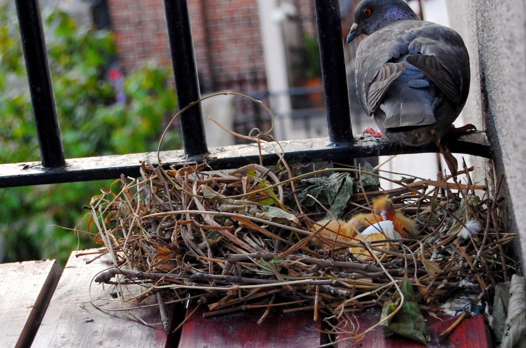 Erradicación de palomas en balcones